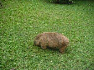 A Wombat