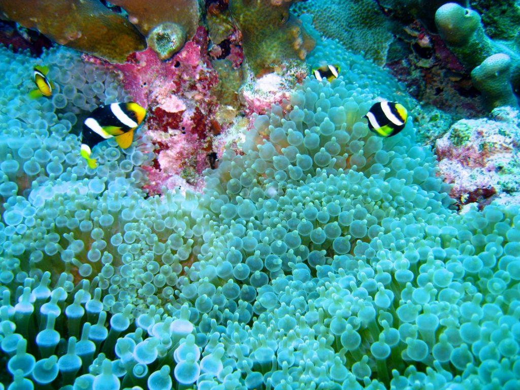 maldives coral